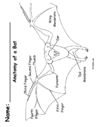 Anatomy of a Bat Coloring Page