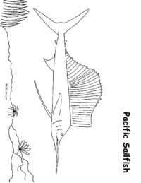 Pacific Sailfish Coloring Sheet
